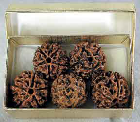 Rudraksha - Five Beads in a Golden Box